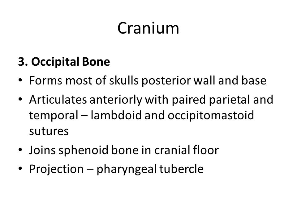 Cranium 3. Occipital Bone Forms most of skulls posterior wall and base Articulates anteriorly with paired parietal and temporal – lambdoid and occipit
