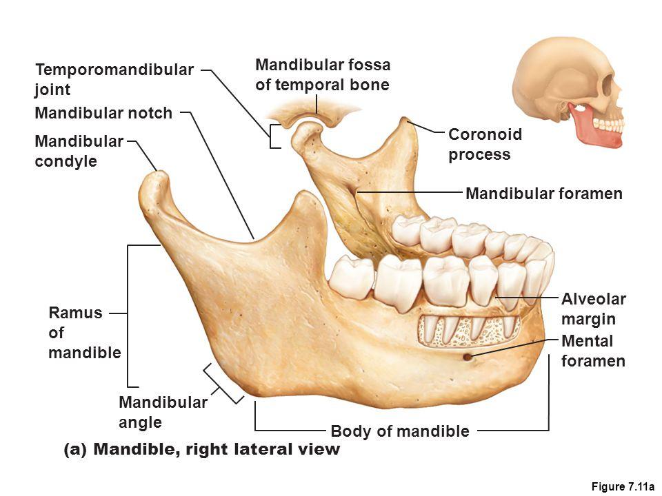 Facial Bones – Maxillary Bones Maxillae Fused medially Form upper jaw and central portion of face Upper teeth – alveolar margins