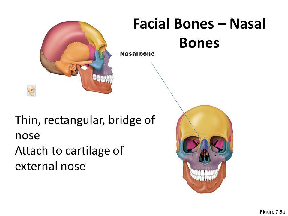 Figure 7.4a Lacrimal bone (a) Anterior view Delicate, fingernail shaped Contribute to medial walls of each orbit Deep grove – lacrimal fossa – allows tears to drain Facial Bones – Lacrimal Bones