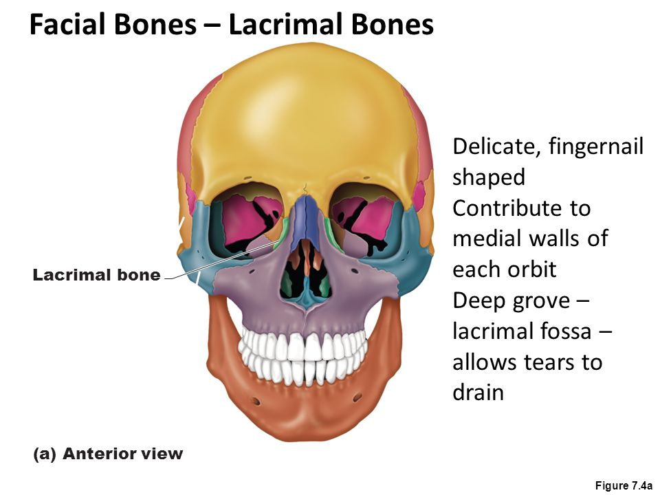 Figure 7.4a Lacrimal bone (a) Anterior view Delicate, fingernail shaped Contribute to medial walls of each orbit Deep grove – lacrimal fossa – allows