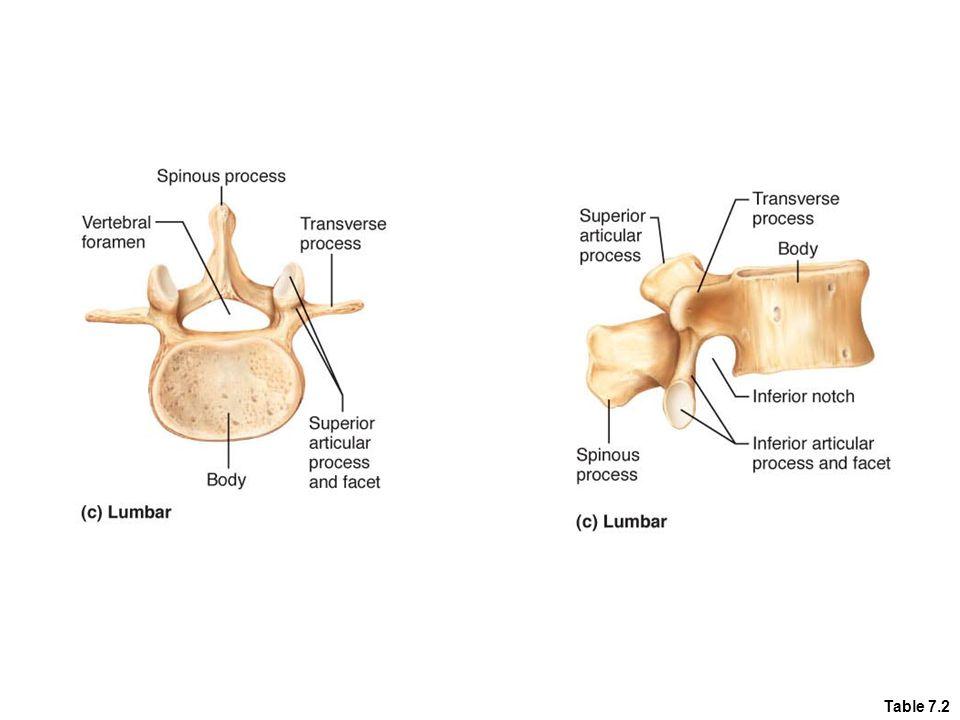 Figure 7.20c Superior articular process Transverse process Spinous process Intervertebral disc Body Inferior articular process (c) Lumbar vertebrae