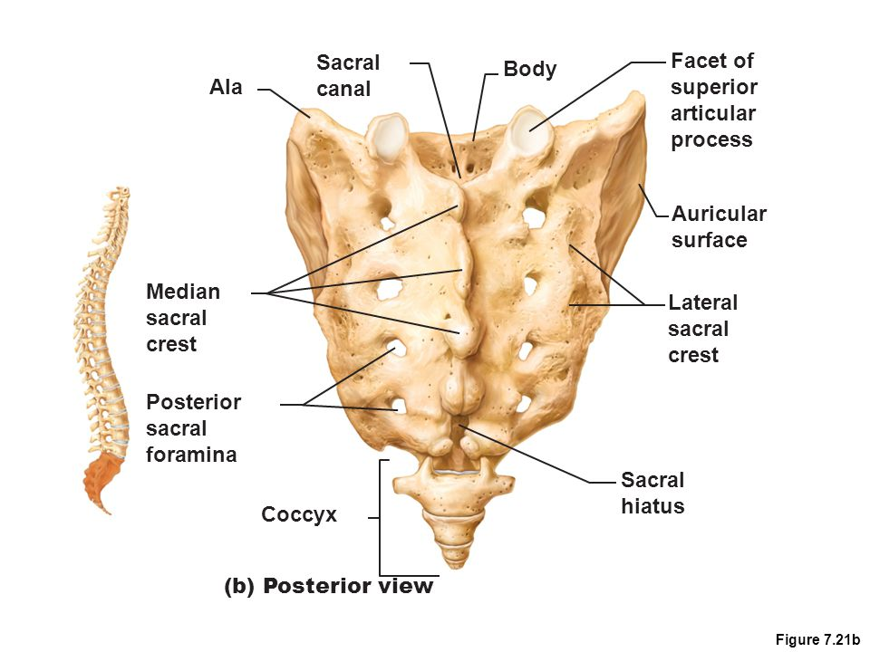 Coccyx Tailbone Small triangular bone 4 (sometimes 3) vertebrae fused together Nearly useless bone