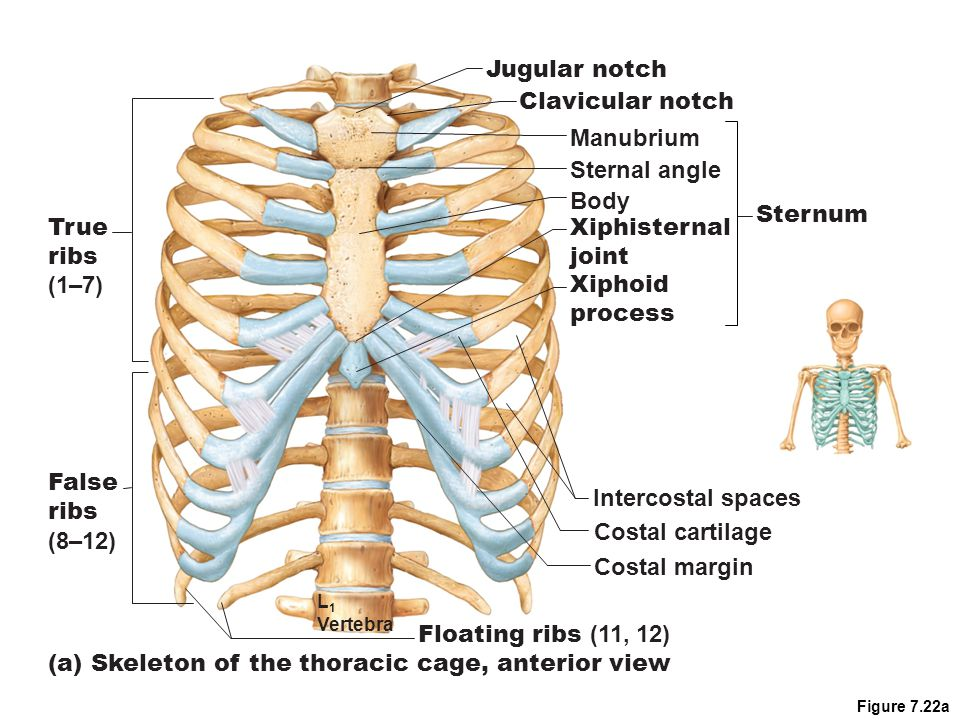 Ribs 12 pairs Attach posteriorly to thoracic vertebrae and curve internally towards body surface 7 superior ribs – attach directly to sternum – true or vertebrosternal ribs 5 remaining – false ribs – attach indirectly or entirely lack sternum attachment Ribs 8 – 10 – vertebrochondrial ribs Ribs 11 and 12 – vertebral ribs/floating ribs – no anterior attachment