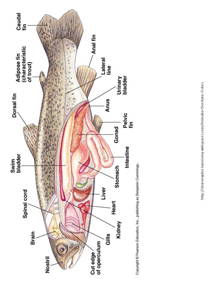 http://sharonapbio-taxonomy.wikispaces.com/Animalia-Chordata--Fishes