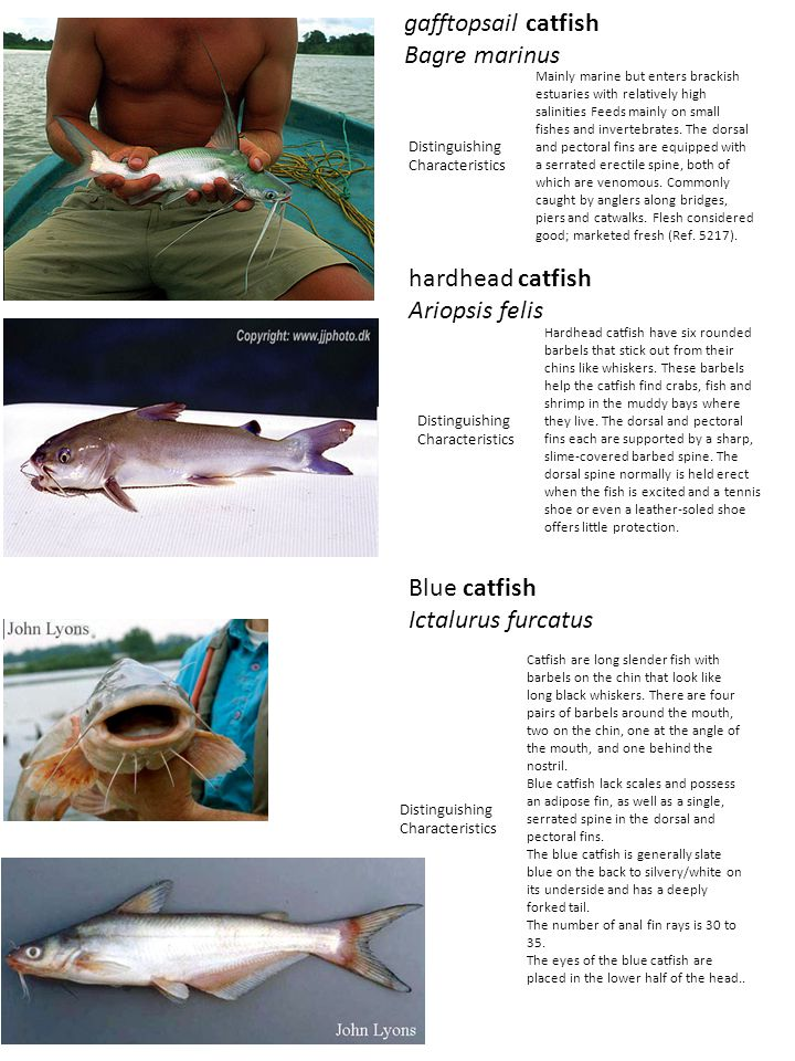 Croaker are easily recognized by numerous short barbels on either side below the mouth and a sharply jagged preopercle.