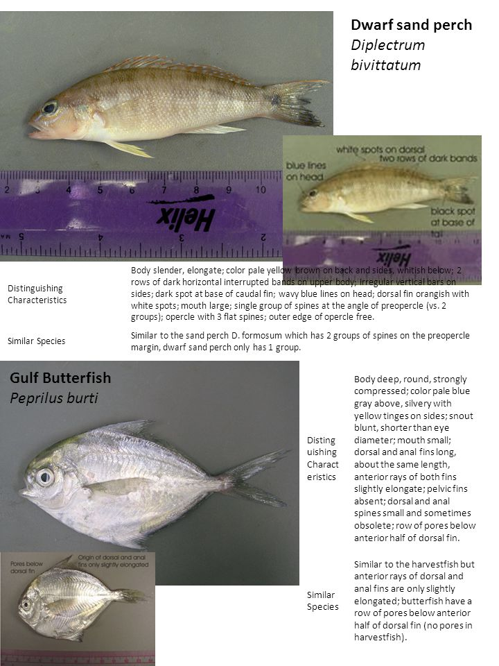 Dwarf sand perch Diplectrum bivittatum Distinguishing Characteristics Body slender, elongate; color pale yellow brown on back and sides, whitish below; 2 rows of dark horizontal interrupted bands on upper body; irregular vertical bars on sides; dark spot at base of caudal fin; wavy blue lines on head; dorsal fin orangish with white spots; mouth large; single group of spines at the angle of preopercle (vs.