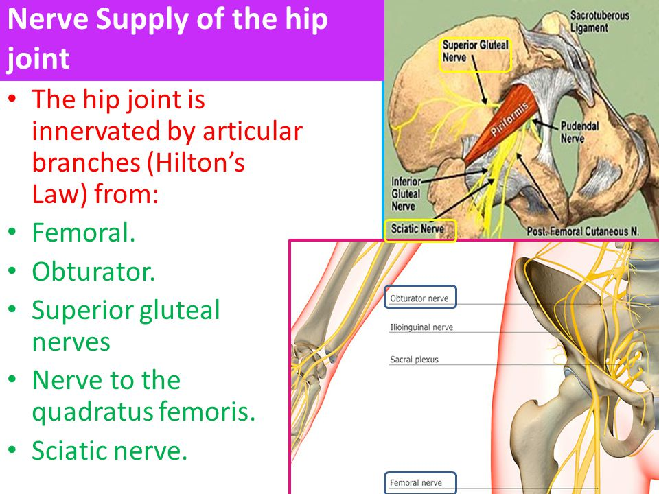 hip joint rania gabr. - ppt video online download, Muscles
