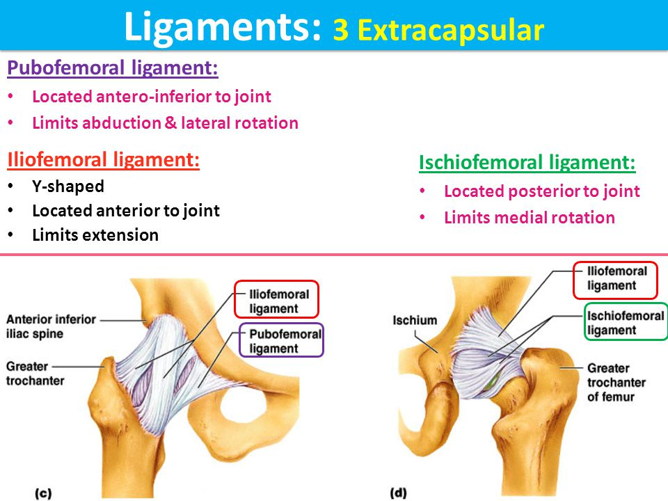 Ligaments: 2 Intracapsular (Extrasynovial) Transverse acetabular ligament: formed by the acetabular labrum as it bridges the acetabular notch converts acetabular notch into foramen through which pass acetabular vessels Ligament of femoral head: carries vessels to head of femur