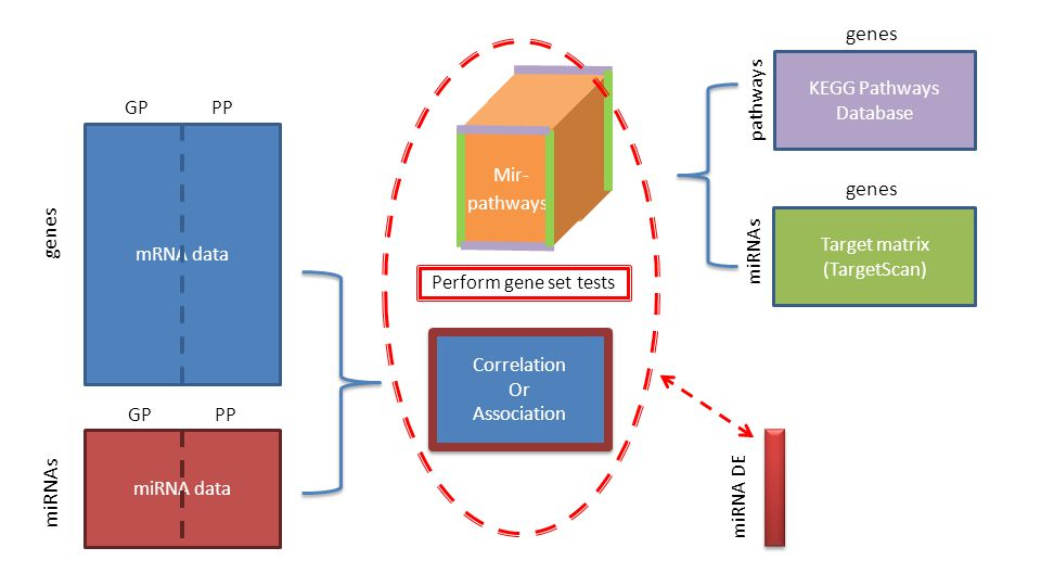 miRNA data mRNA data genes miRNAs GP PP Target matrix (TargetScan) miRNAs KEGG Pathways Database genes Correlation Or Association Correlation Or Association Perform gene set tests miRNA DE Mir- pathways
