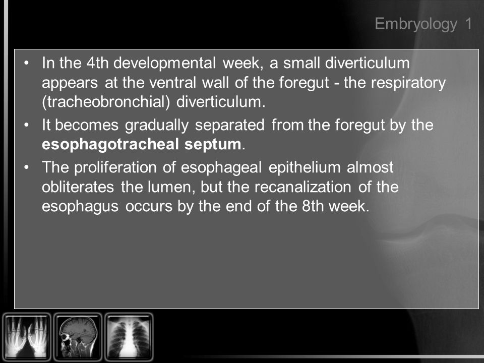 Embryology 1 In the 4th developmental week, a small diverticulum appears at the ventral wall of the foregut - the respiratory (tracheobronchial) diver