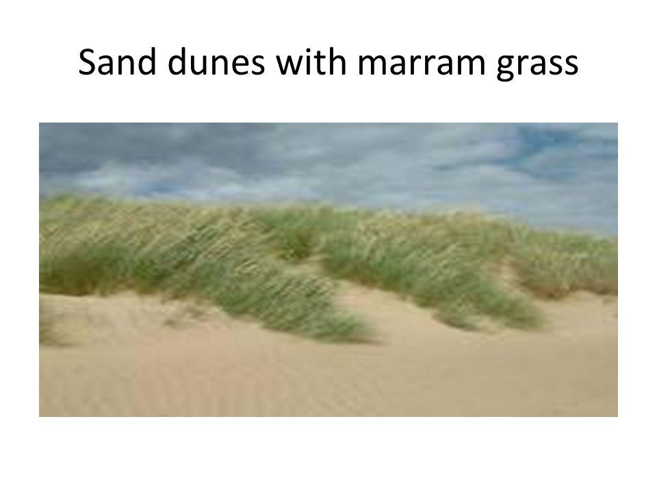 Sand dunes with marram grass