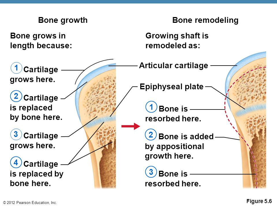 © 2012 Pearson Education, Inc. Figure 5.6 Bone growth Bone grows in length because: Bone remodeling Growing shaft is remodeled as: Cartilage grows her