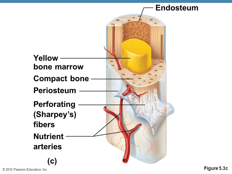 © 2012 Pearson Education, Inc. Figure 5.3c Yellow bone marrow Compact bone Perforating (Sharpey's) fibers Nutrient arteries Periosteum Endosteum (c)