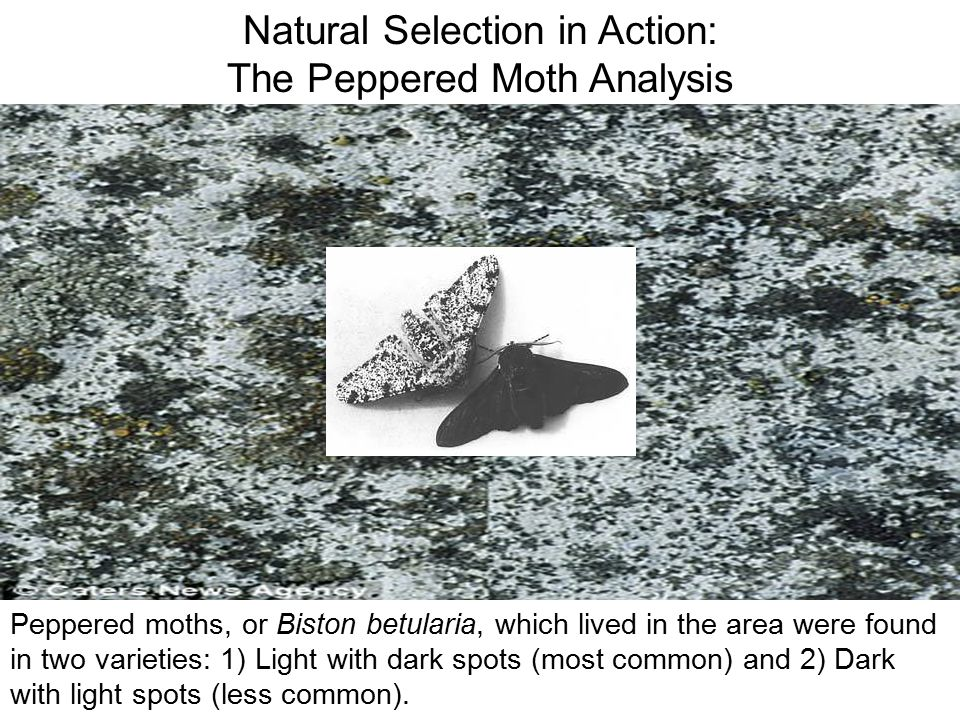 Natural Selection in Action: The Peppered Moth Analysis Before the industrial revolution, the trees in the forest around Manchester, England were a li