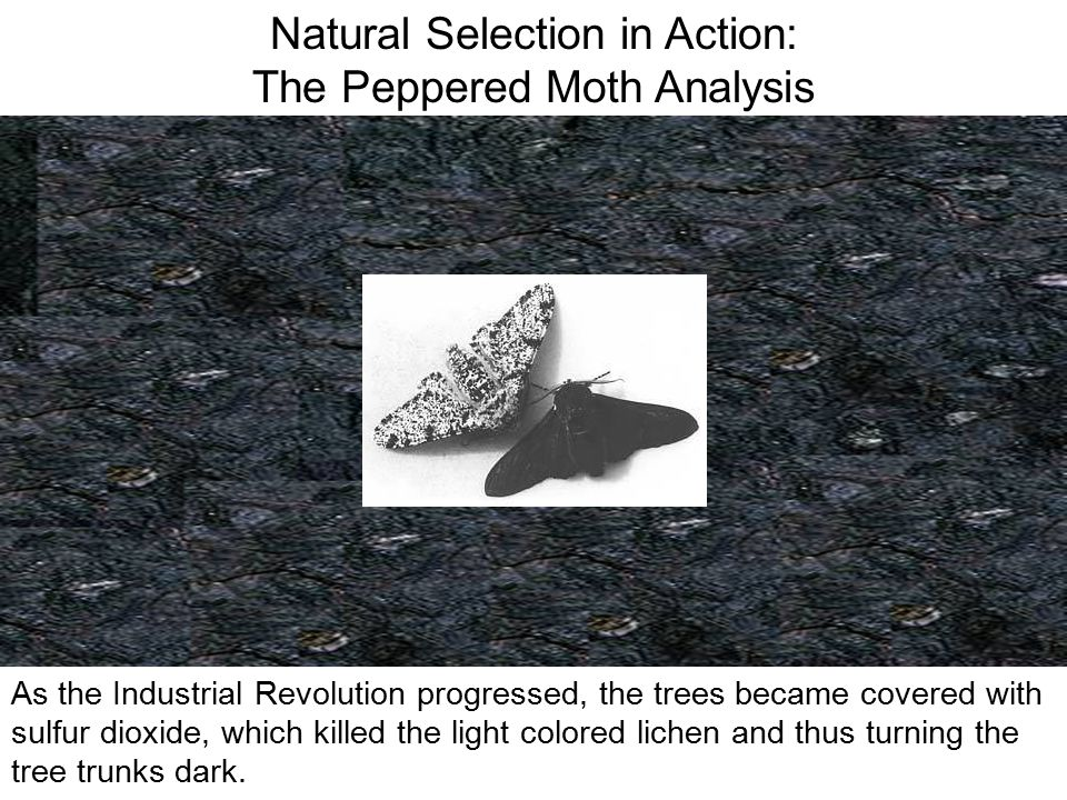 Natural Selection in Action: The Peppered Moth Analysis Because there were not enough resources to support the entire population, the two varieties of