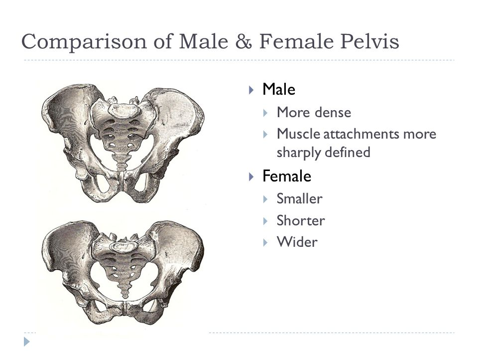 Comparison of Male & Female Pelvis  Male  More dense  Muscle attachments more sharply defined  Female  Smaller  Shorter  Wider
