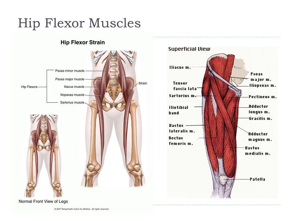 Hip And Pelvis Chapter 19 Hip Pelvis Strongest Articulation In