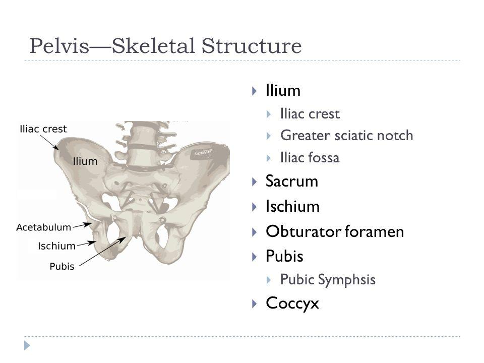 Pelvis—Skeletal Structure  Ilium  Iliac crest  Greater sciatic notch  Iliac fossa  Sacrum  Ischium  Obturator foramen  Pubis  Pubic Symphsis  Coccyx