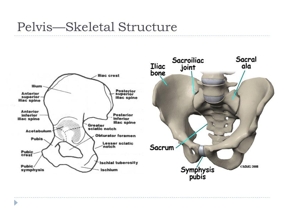 Pelvis—Skeletal Structure