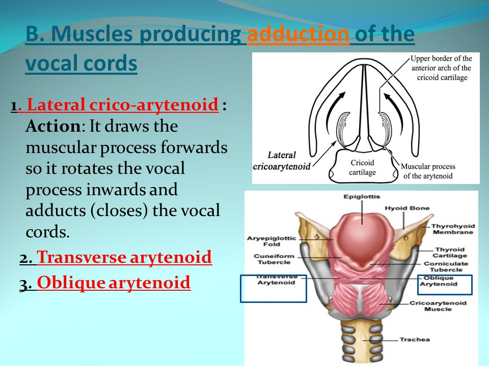B. Muscles producing adduction of the vocal cords 1. Lateral crico-arytenoid : Action: It draws the muscular process forwards so it rotates the vocal