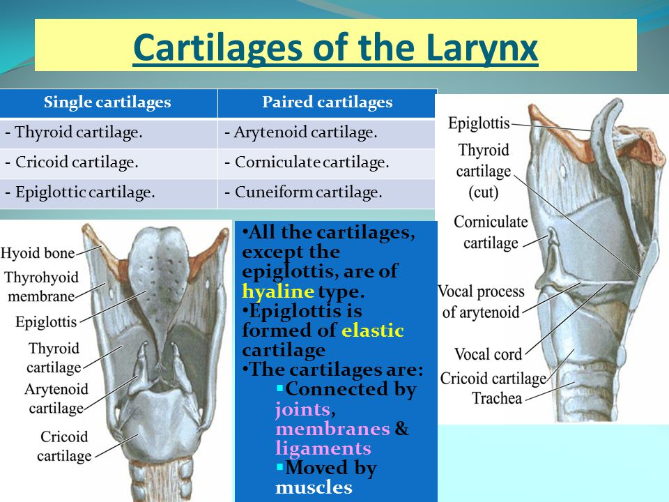 Cartilages of the Larynx Single cartilagesPaired cartilages - Thyroid cartilage.- Arytenoid cartilage. - Cricoid cartilage.- Corniculate cartilage. -