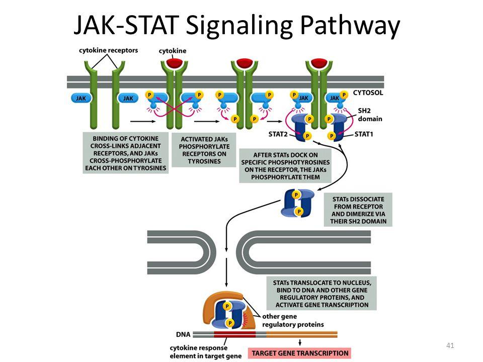 41 JAK-STAT Signaling Pathway