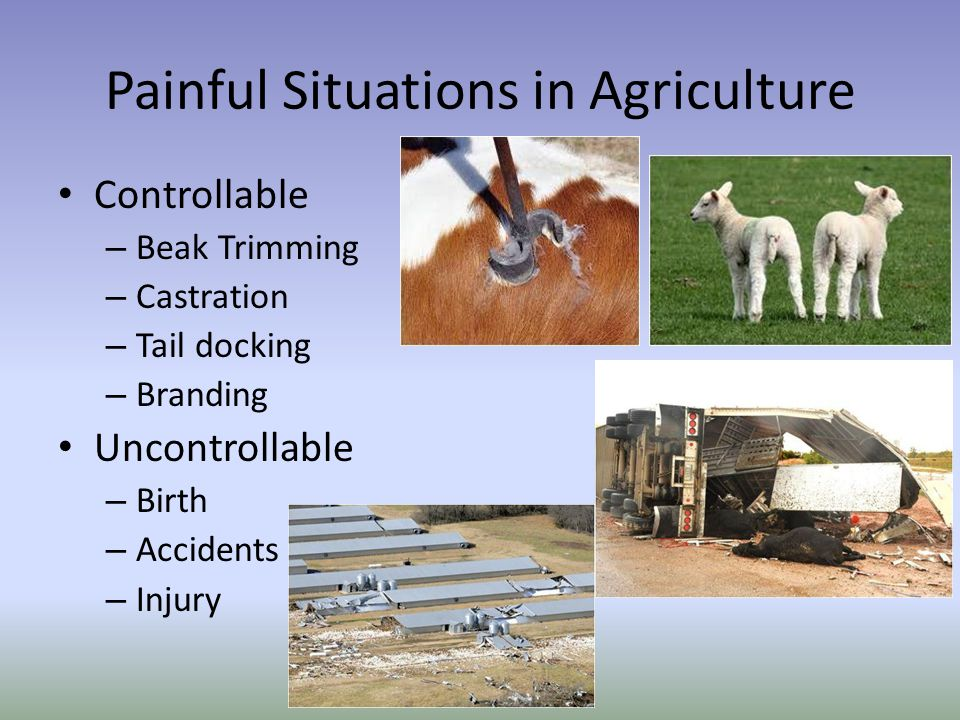 Painful Situations in Agriculture Controllable – Beak Trimming – Castration – Tail docking – Branding Uncontrollable – Birth – Accidents – Injury