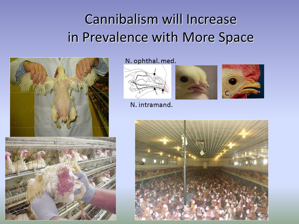 Cannibalism will Increase in Prevalence with More Space a c N. intramand. N. ophthal. med. C