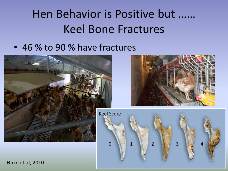 Hen Behavior is Positive but …… Keel Bone Fractures 46 % to 90 % have fractures Nicol et al, 2010