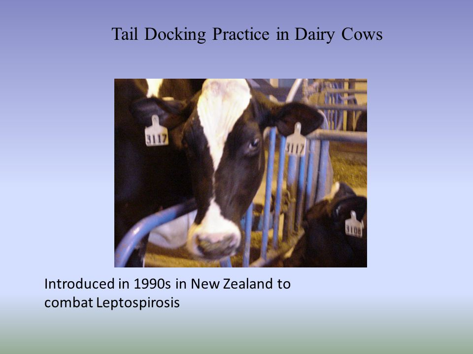 Tail Docking Practice in Dairy Cows Introduced in 1990s in New Zealand to combat Leptospirosis