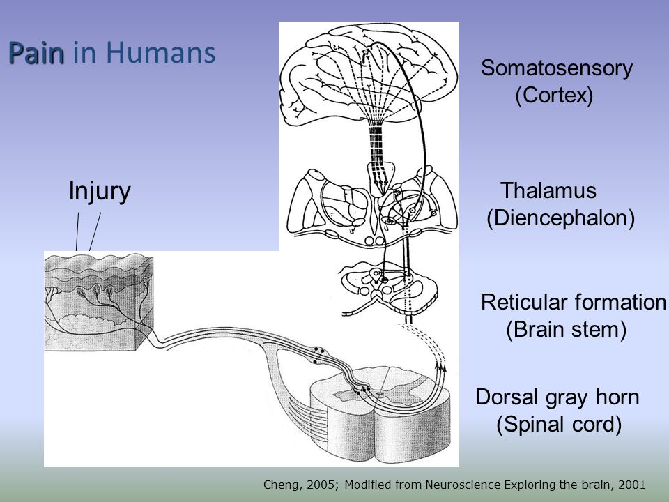 Skin Dorsal gray horn (Spinal cord) Reticular formation (Brain stem) Thalamus (Diencephalon) Somatosensory (Cortex) A, C -fibers Injury Skin A-, C-fibers Cheng, 2005; Modified from Neuroscience Exploring the brain, 2001 Pain Pain in Humans A-thickly myelinated = fast C – unmyelinated = slow, polymodal