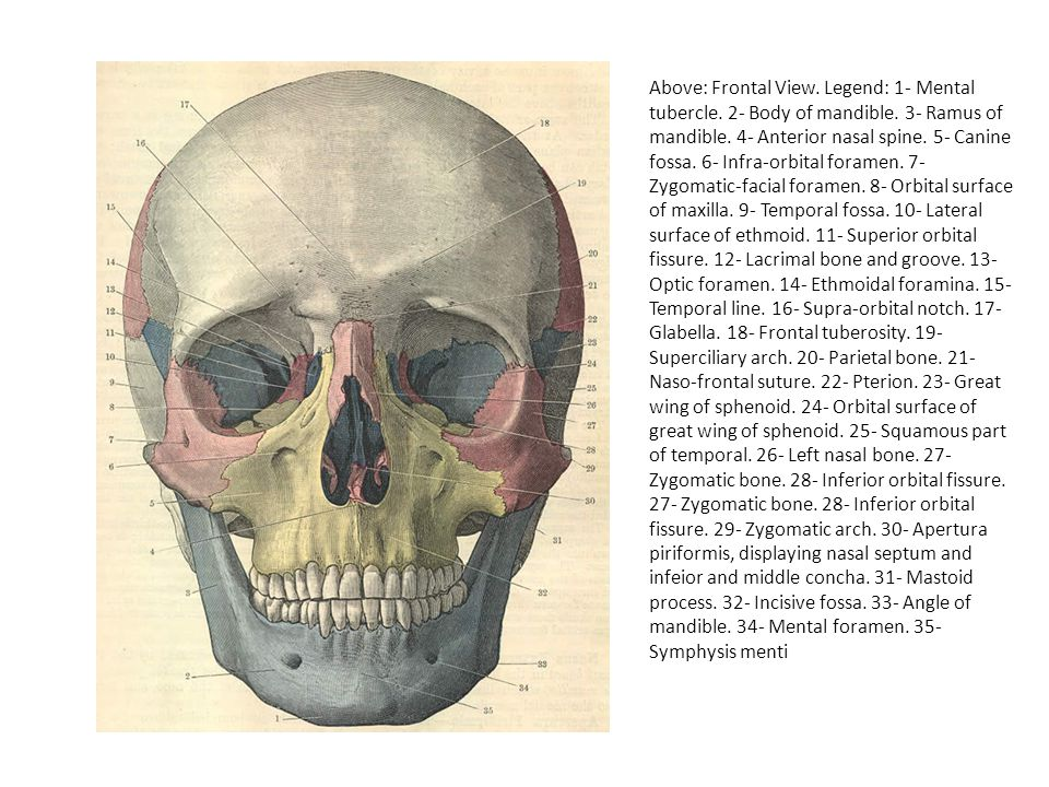 Above: Lateral View.Legend: 1- Mental foramen. 2- Body of the mandible.