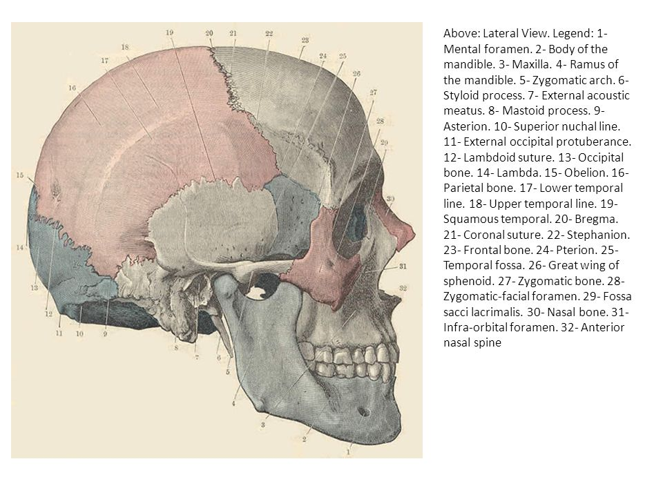 Above: Lateral View. Legend: 1- Mental foramen. 2- Body of the mandible. 3- Maxilla. 4- Ramus of the mandible. 5- Zygomatic arch. 6- Styloid process.