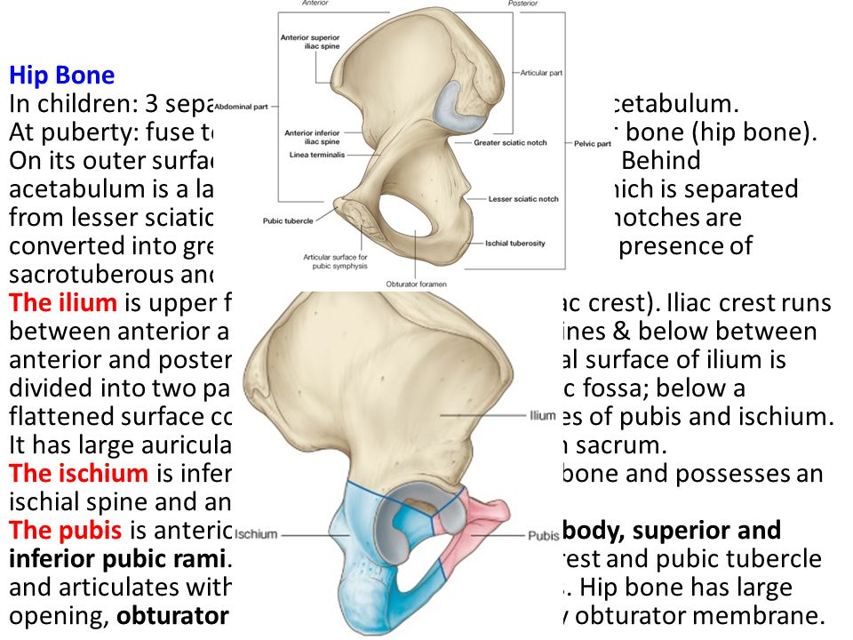 Bony Pelvis Sacrum: It consists of 5 rudimentary vertebrae fused together to form a single wedge-shaped bone with a forward concavity.