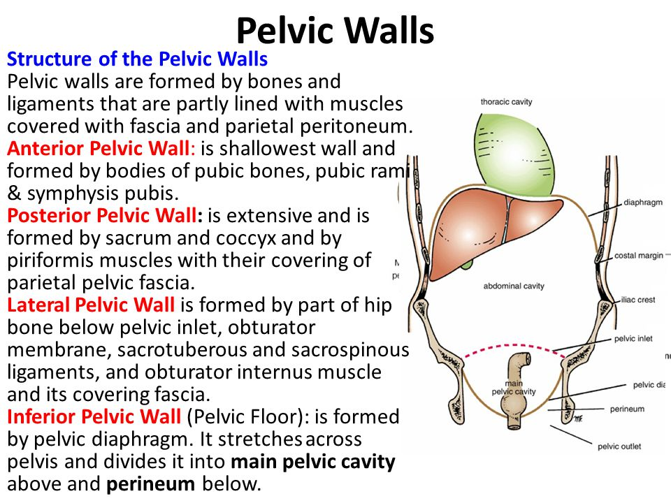 Pelvic Walls Structure of the Pelvic Walls Pelvic walls are formed by bones and ligaments that are partly lined with muscles covered with fascia and p