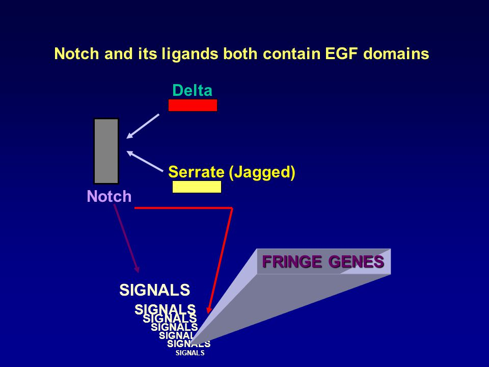 Notch and its ligands both contain EGF domains Notch Delta Serrate (Jagged) SIGNALS FRINGE GENES