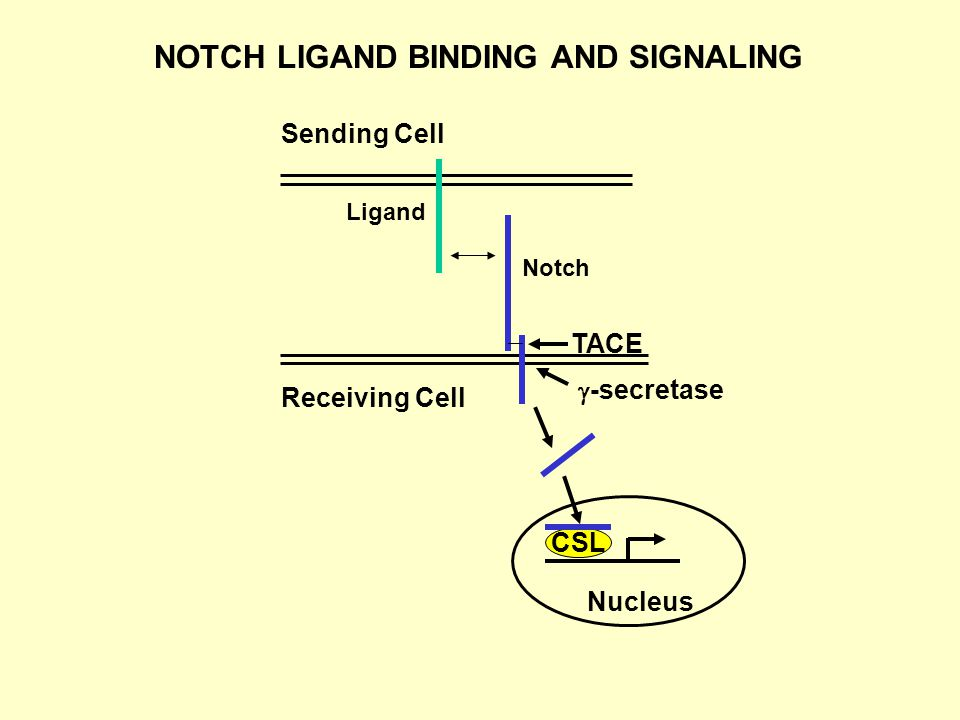 Sending Cell Receiving Cell Ligand TACE  -secretase Nucleus CSL Notch NOTCH LIGAND BINDING AND SIGNALING