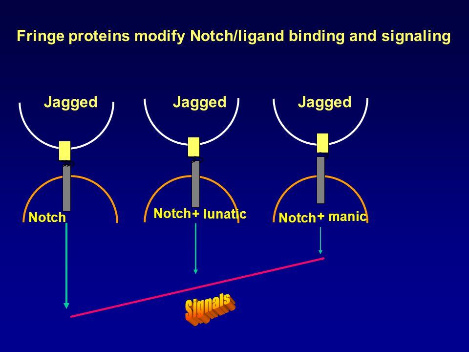 Jagged Notch + manic + lunatic Fringe proteins modify Notch/ligand binding and signaling