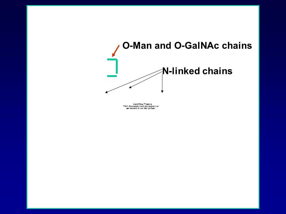 O-Man and O-GalNAc chains N-linked chains