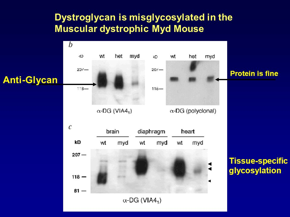 Dystroglycan is misglycosylated in the Muscular dystrophic Myd Mouse Protein is fine Anti-Glycan Tissue-specific glycosylation