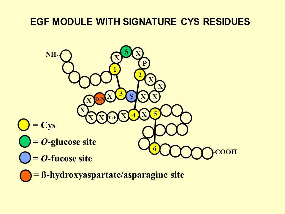 NH 2 - -COOH = Cys = O-glucose site = O-fucose site 1 2 3 4 5 6 X S X P X X XX SX X X XX X X D/N Y/F = ß-hydroxyaspartate/asparagine site EGF MODULE WITH SIGNATURE CYS RESIDUES