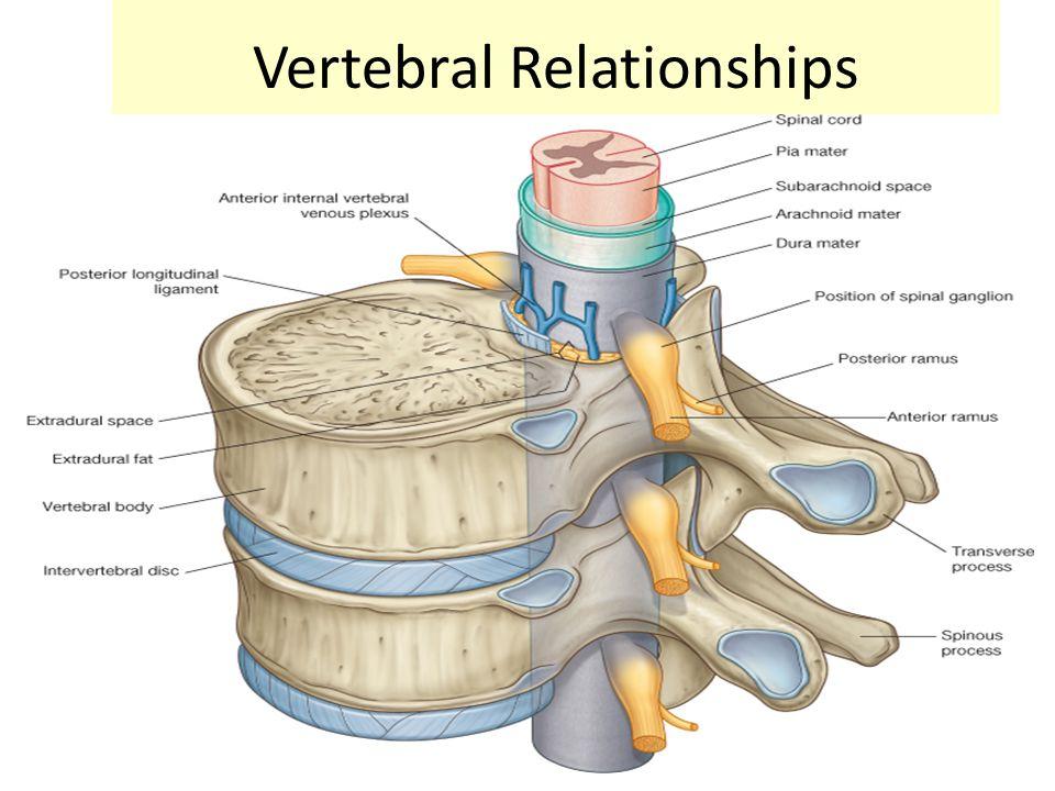 Vertebral Relationships