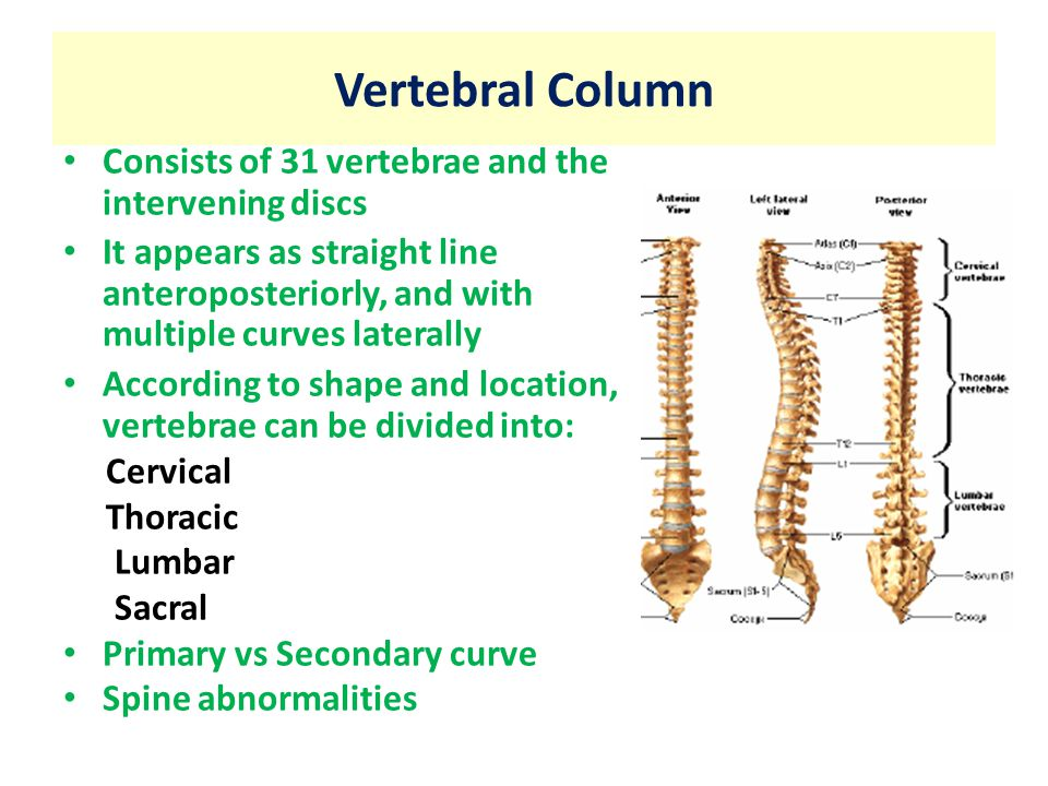 Vertebral Column Consists of 31 vertebrae and the intervening discs It appears as straight line anteroposteriorly, and with multiple curves laterally