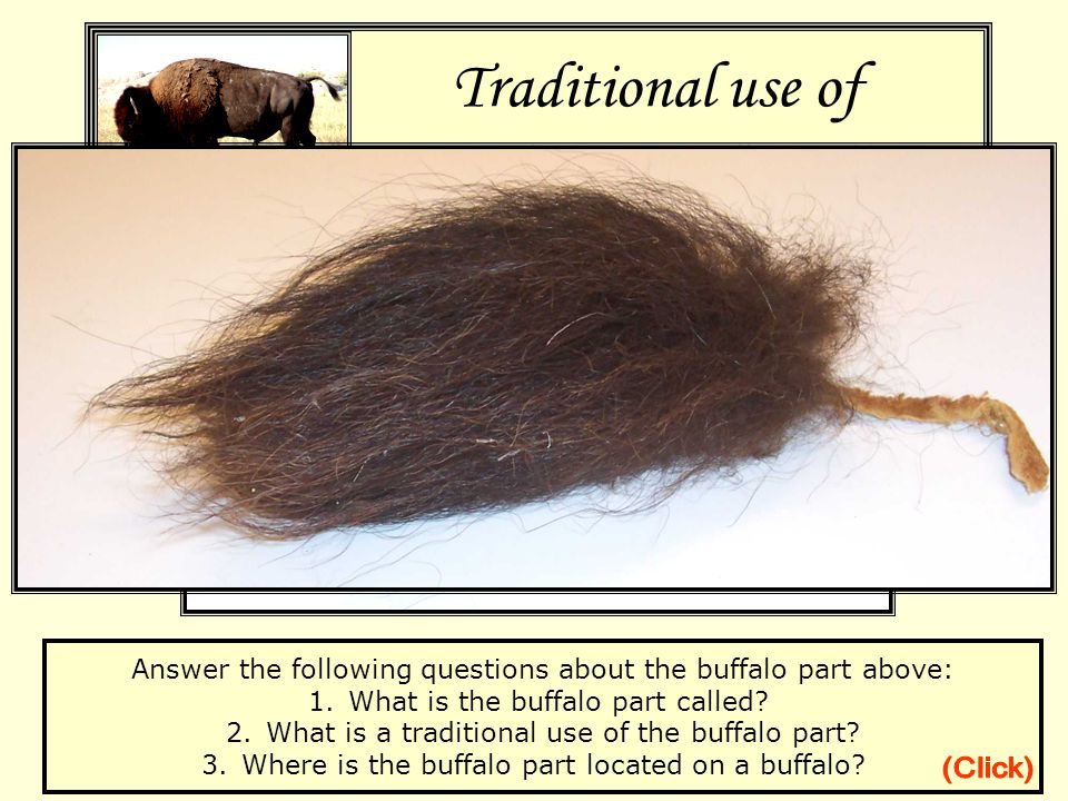 Traditional use of Tatanka Parts Gallery Answer the following questions about the buffalo part above: 1.What is the buffalo part called.