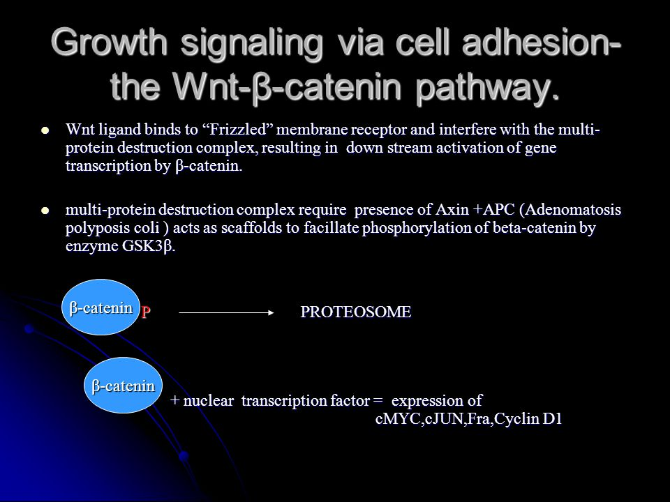 "Growth signaling via cell adhesion- the Wnt-β-catenin pathway. Wnt ligand binds to ""Frizzled"" membrane receptor and interfere with the multi- protein"