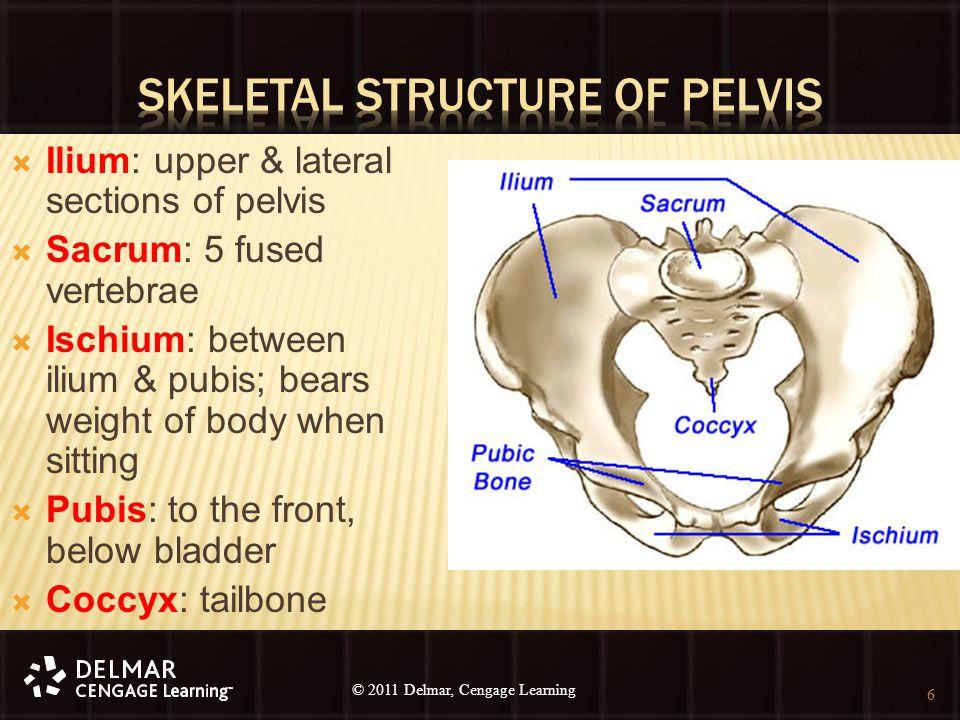 © 2010 Delmar, Cengage Learning 6 © 2011 Delmar, Cengage Learning  Ilium: upper & lateral sections of pelvis  Sacrum: 5 fused vertebrae  Ischium: b