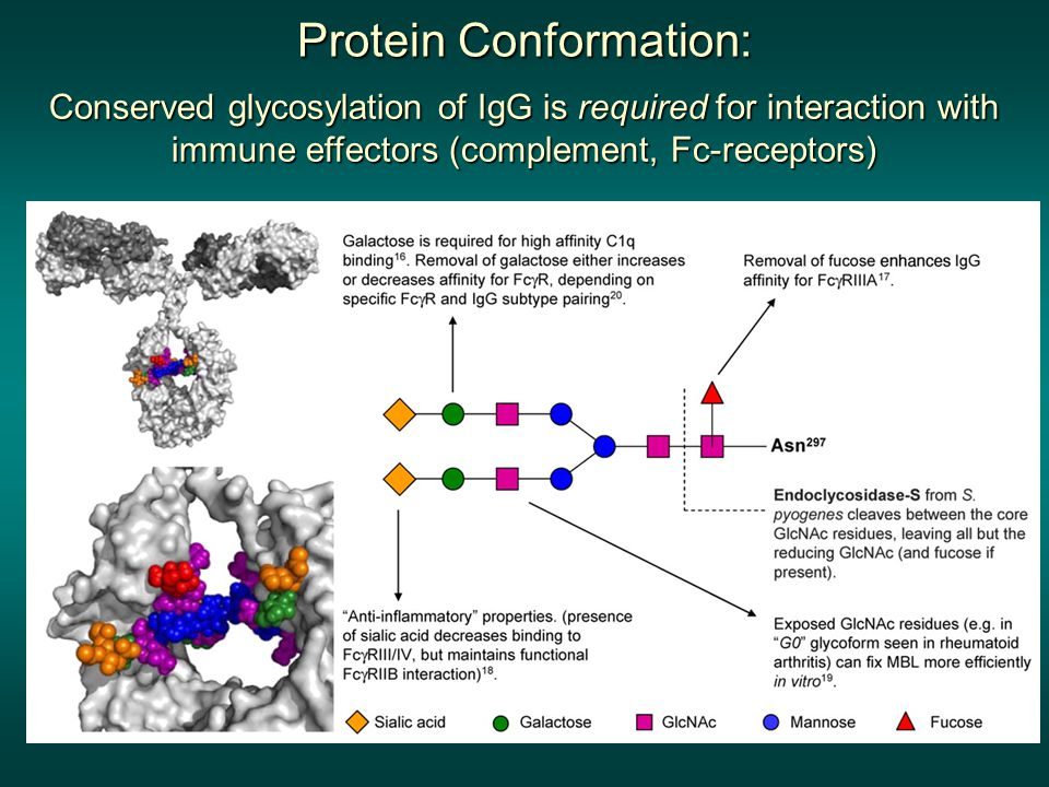 Protein Conformation: Conserved glycosylation of IgG is required for interaction with immune effectors (complement, Fc-receptors)