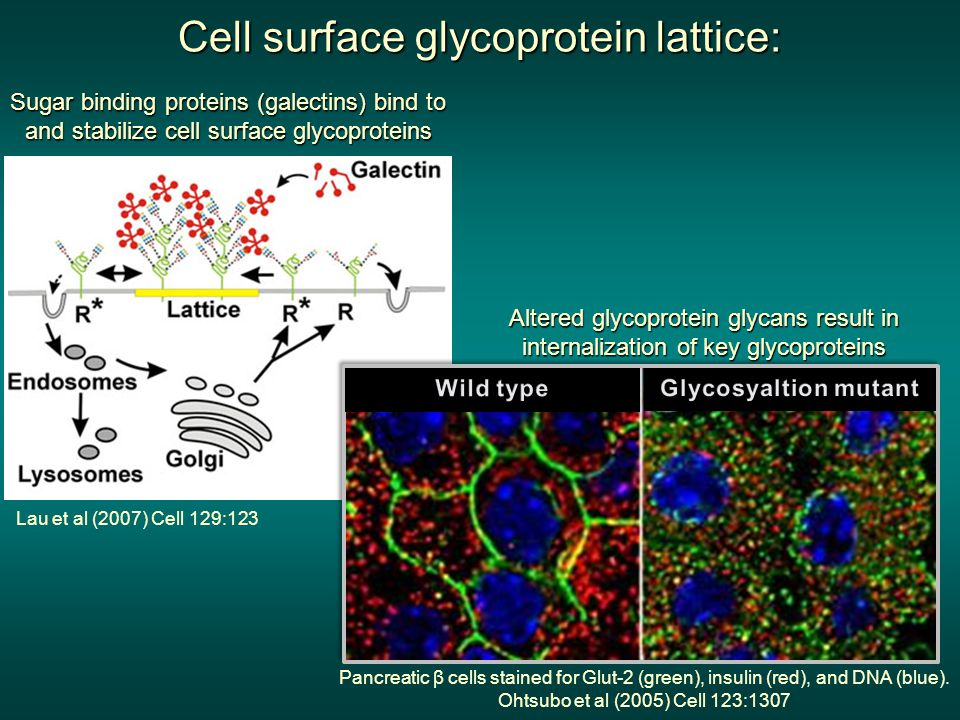 Cell surface glycoprotein lattice: Sugar binding proteins (galectins) bind to and stabilize cell surface glycoproteins Lau et al (2007) Cell 129:123 Altered glycoprotein glycans result in internalization of key glycoproteins Pancreatic β cells stained for Glut-2 (green), insulin (red), and DNA (blue).