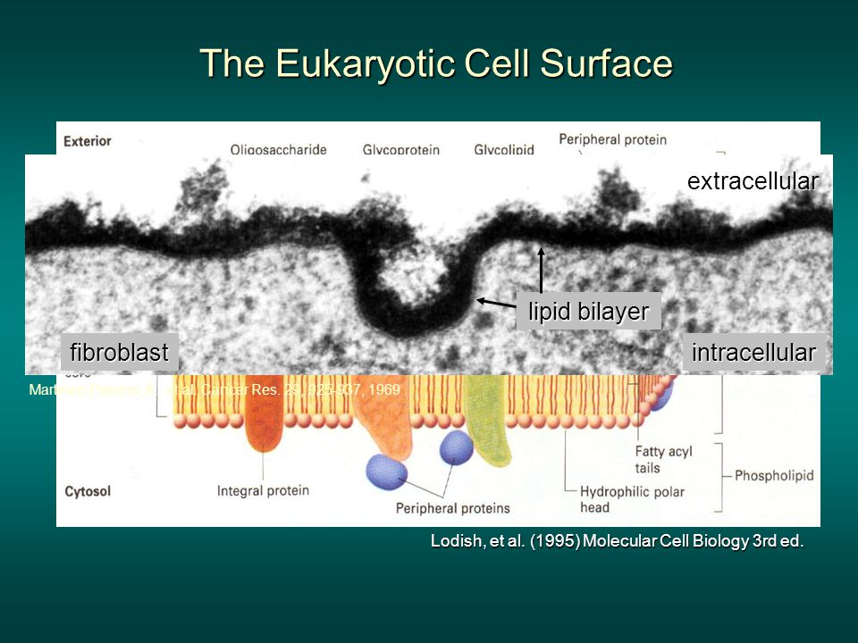 The Eukaryotic Cell Surface Lodish, et al. (1995) Molecular Cell Biology 3rd ed.