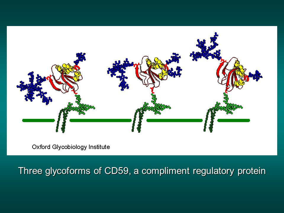 Three glycoforms of CD59, a compliment regulatory protein